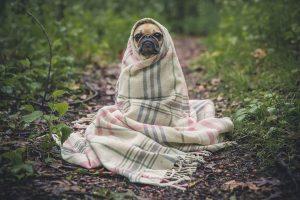 perro buldof francés manta