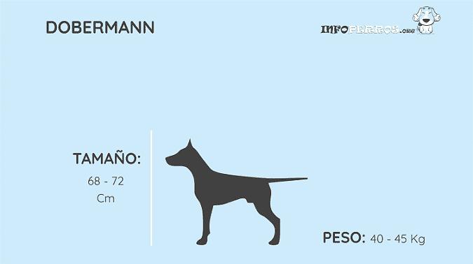 imagen de la anatomia del dobermann