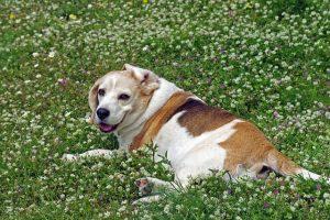 imagen de un beagle anciano tumbado en el campo mirandote