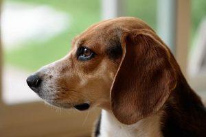 imagen de un beagle atento