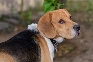 imagen de un beagle atento en el bosque