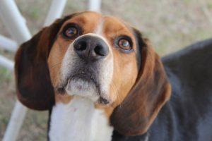 imagen de un beagle atento en el camping
