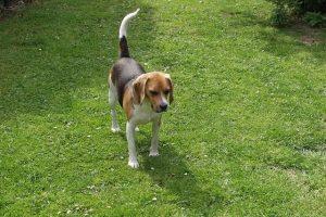 imagen de un beagle atento en el campo de su juguete