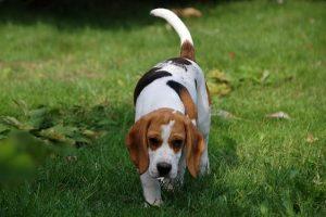 imagen de un beagle buscando en el jardin de casa