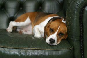 imagen de un beagle descansando en el sofa