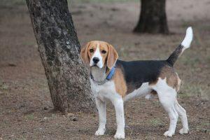 imagen de un beagle disfrutando de un dia en el bosque