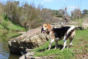 imagen de un beagle disfrutando de un dia en el rio
