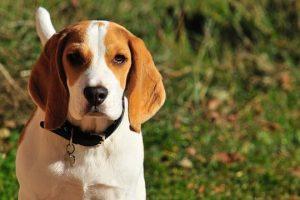 imagen de un beagle en el campo precioso