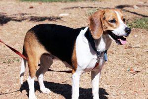 imagen de un beagle en el rio