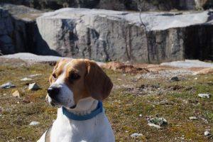 imagen de un beagle en un dia de montaña