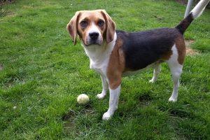 imagen de un beagle esperando a que le tires la pelota