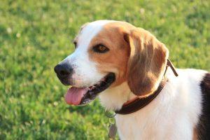 imagen de un beagle feliz sentado en el campo atento