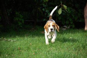 imagen de un beagle por el jardin