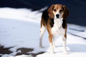 imagen de un beagle posando en la nieve