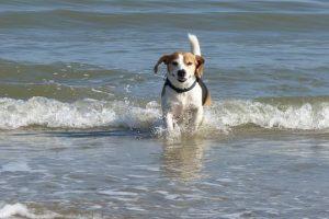 imagen de un beagle saliendo del agua de la playa