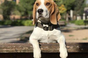 imagen deun beagle subido a la vaya atento