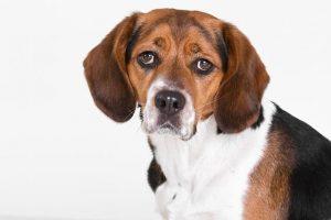 imagen de un beagle triston