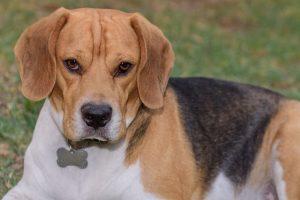 imagen de un beagle tumbado con gran mirada