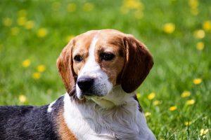 imagen de un beagle tumbado en el campo atento