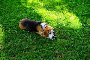 imagen de un beagle tumbado en el campo disfrutando del dia