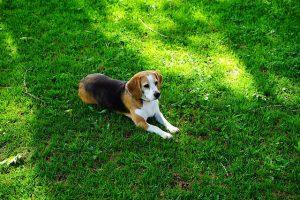 imagen de un beagle tumbado en el jardin al solecito