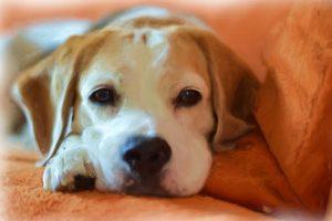 imagen de un beagle tumbado en el sofa con mirada cariñosa