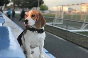imagen de un beagle viendo el futbol