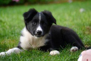 Imagen de un perro cachorro de collie
