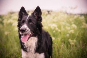 imagen de un border collie cachorro