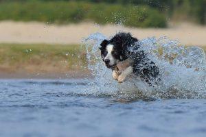 imagen de un collie saltando en el rio