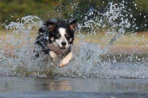 imagen de un collie corriendo por el agua