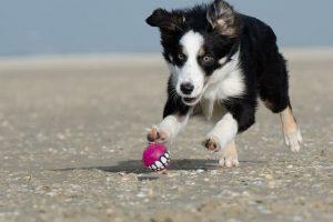 Imagen de un cachorro collie jugando