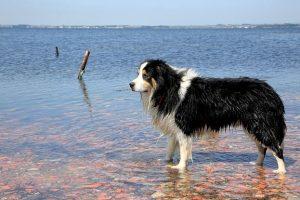 imagen de un border collie mojado en la playa