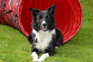 perro border collie tumbado en un campo de agility