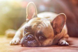 perro tumbado bildog