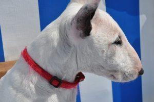 imagen de un bull terrier blanco mirando atento