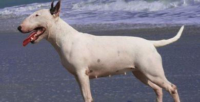 imagen de un bull terrier en el agua