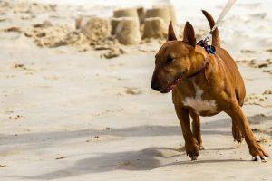 Imagen de un bull terrier en la arena