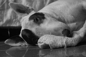 imagen de un bull terrier en blanco y negro
