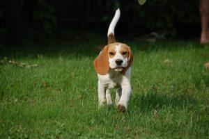 imagen de un cachorro beagle corriendo en el jardin