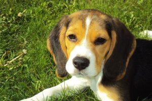 imagen de un cachorro beagle descansando en el campo