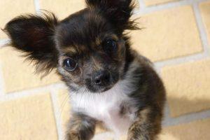 imagen de un cachorro chihuahua a dos patas