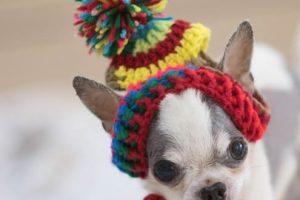 imagen de un cachorro chihuahua con un gorrito andando
