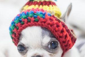 imagen de un cachorro chihuahua con un gorrito tumbado