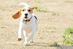 imagen de un cachorro de beagle corriendo en la playa