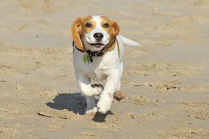 imagen de un cachorro de beagle corriendo por la playa disfrutando de un gran dia