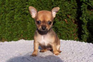 imagen de un cachorro de chihuahua de pelo corto sentado en el jardin
