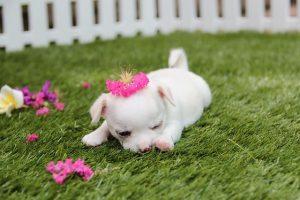 imagen de un cachorro de chihuahua de pelo corto tumbado en el jardin