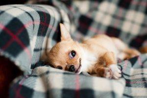 imagen de un cachorro de chihuahua de pelo corto tumbado en el sofa