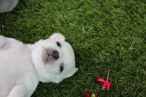 imagen de un cachorro de chihuahua de pelo corto tumbado panza arriba en el jardin